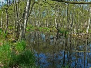 Ellesump og birke i Natura 2000-området